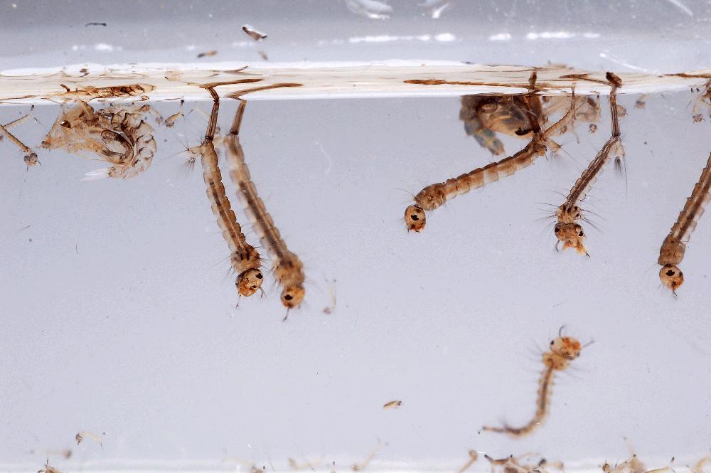 image larves1.png (0.3MB)
